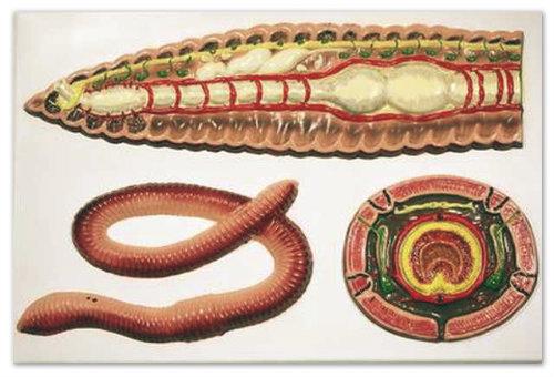 Внутренности червя