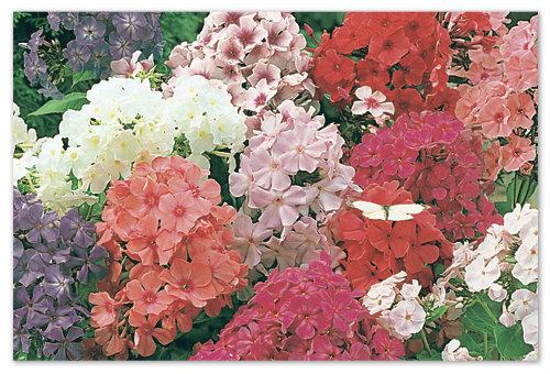 Цветы- флоксы