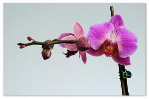Орхидея фаленопсис — изысканна и прекрасна