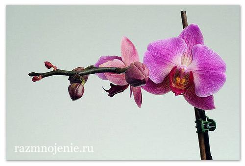 Phalaenopsis — похожая на мотылька.