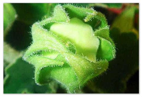 Посадка листка глоксинии.