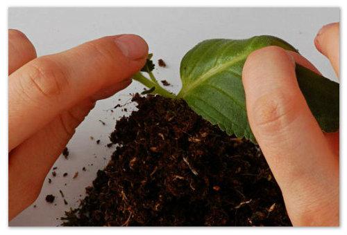 Размножение глоксинии листом.