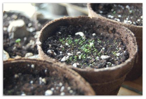 Проросшие семена фикуса.