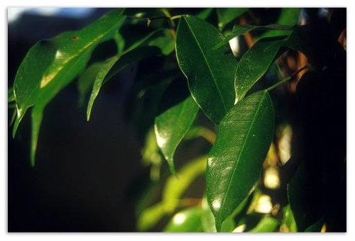 Молодые листья фикуса.