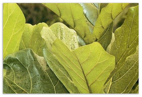 Листья фикуса.