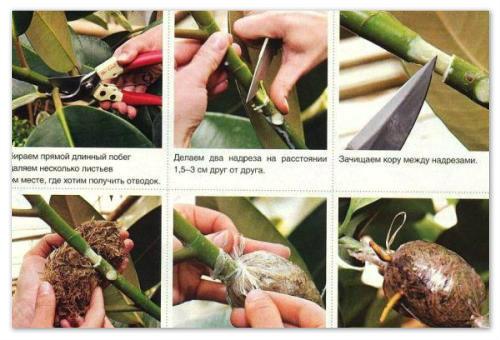 Инструкция по размножению фикуса.