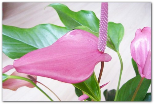 Цветок-фламинго.