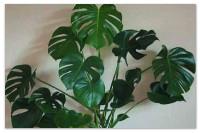 Комнатная монстера — рекомендации по размножению и уходу за цветком.