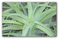 Растим цветок алоэ правильно — советы по уходу за растением.