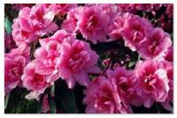 Комнатный цветок азалия.