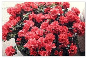 Выращиваем Азалию дома: посадка, уход и размножение растения — советы хозяйкам
