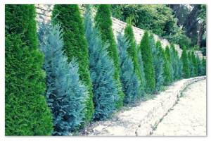 Туя — жизненное дерево — советы по выращиванию и уходу