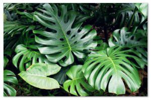 Комнатная монстера — рекомендации по размножению и уходу за цветком