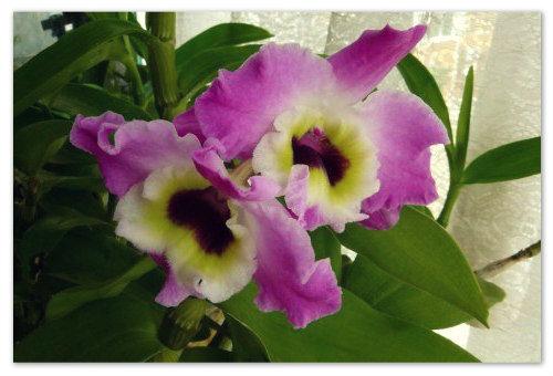 Цветок орхидеи дендробиум.