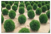 Туя — жизненное дерево — советы по выращиванию и уходу.