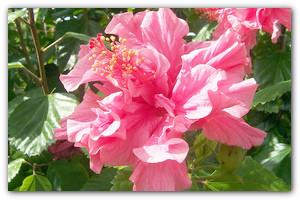 Выращиваем садовый гибискус — гавайскую яркую экзотику в вашем саду