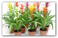 Превращаем дом в тропический сад — основные рекомендации по уходу за Гузманией.