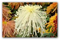 Великолепная осень в вашем саду — выращиваем хризантемы правильно.