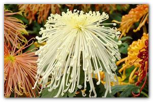 Цветы ромашки садовые фото и название