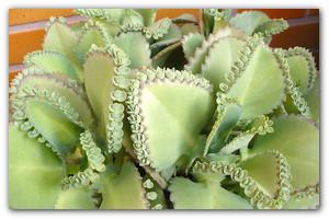 Цветок Каланхоэ — декоративный красавец или лекарство от насморка?