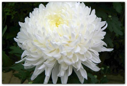 Крупноцветковая белая хризантема.