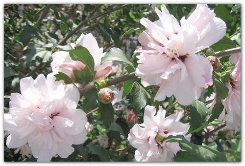 Цветы Lady Stanley.