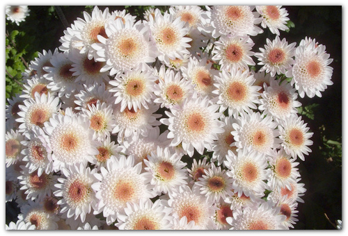Хризантемы выращивание и уход зимой