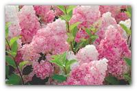 Выращиваем облака в саду — как обеспечить уход за садовой гортензией.