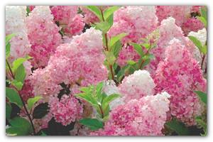 Выращиваем облака в саду — как обеспечить уход за садовой гортензией