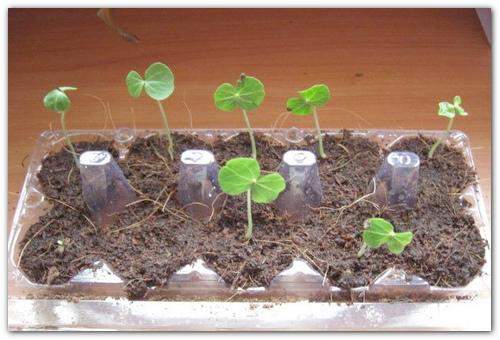 Размножение семенами.