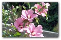 Выращиваем садовый гибискус — гавайскую яркую экзотику в вашем саду.