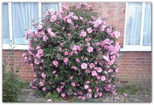 Японская розовая.