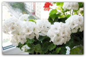 Пеларгония или домашняя Герань — красавица на окне