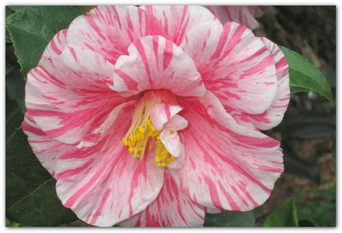 Цветы с пестрой окраской.