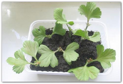 Вегетативное размножение.