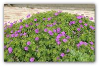 Лаконичная красавица — садовая Герань.