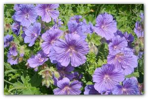 Лаконичная красавица — садовая Герань