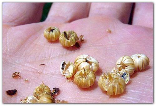 Семена герани садовой.