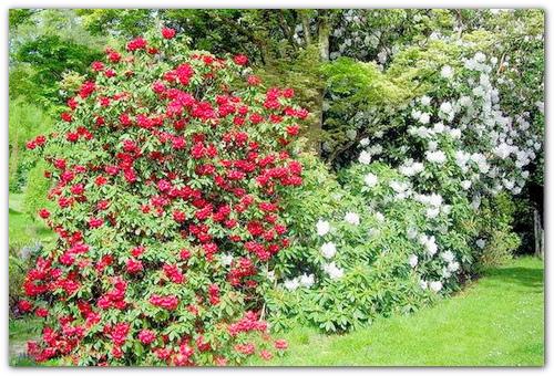 камелия садовая цветок фото