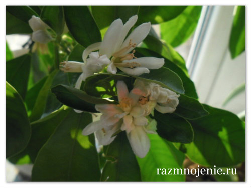 Так цветёт цитрофортунелла.