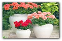 Пеларгония или домашняя Герань — красавица на окне.