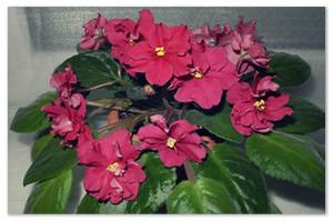 Нежный цветок, покоривший сердца миллионов — узамбарская фиалка…