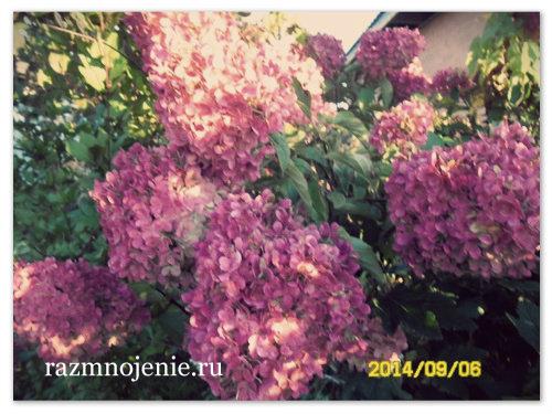 Розовая садовая гортензия.