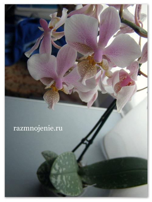 Розовые цветы Орхидея Фаленопсис.