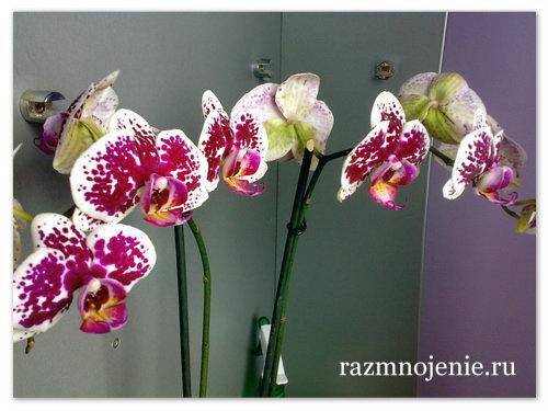 Пёстрые цветы не нужно часто поливать.