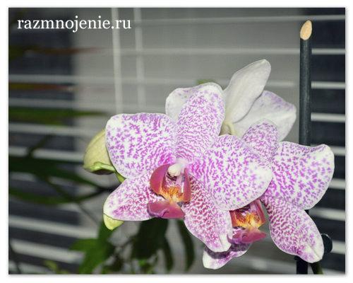Удобрение растения можно совмещать с поливом.