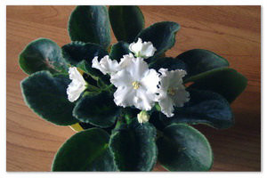 Узамбарская фиалка, она же сенполия — цветок особой атмосферы и душевного настроения в доме