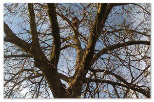 Орех-великан — самое высокое дерево на дачном участке