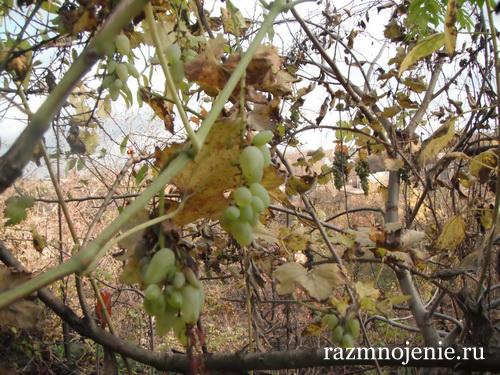 Самый вкусный виноград на земле.