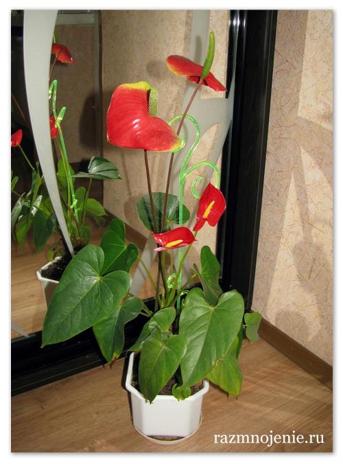 Размер горшка и состав почвы тоже влияют на рост цветка.